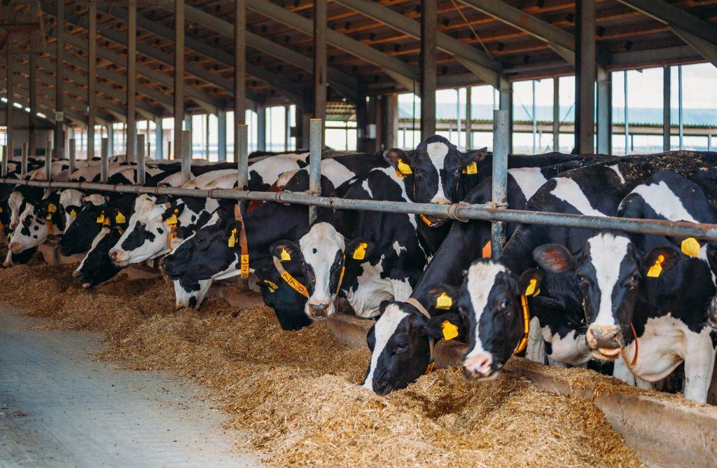 Línea Suralim para bovinos